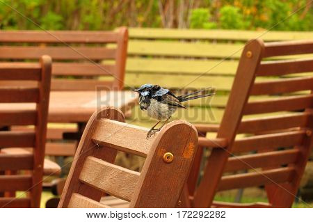Tiny Superb Blue Fairy Wren bird perched on a garden chair in an Australian garden