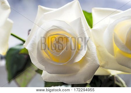 White rose close-up can use as background.