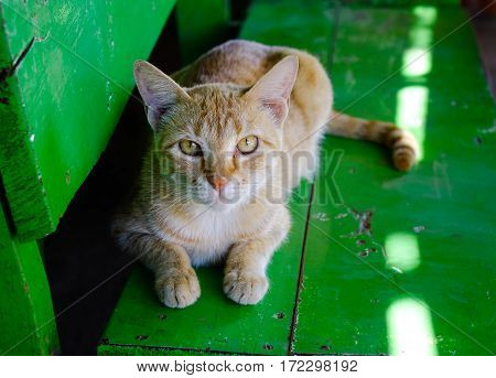 A cat lying on the wooden chair and looking at the camera.