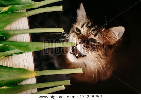 Cat Eating Green Plant, Showing Teeth And Big Whiskers. Beautiful Cat With Funny Emotions Biting Ste