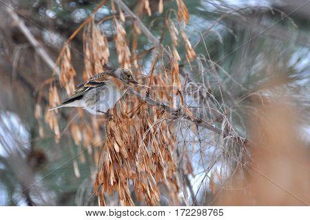 Brambling, Fringilla montifringilla, single male on branch. Bird eat seeds on a tree.