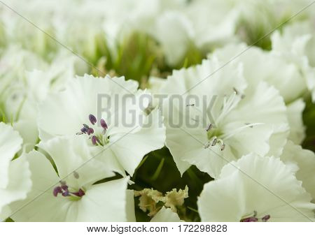 white sweet william like spring background outdoor