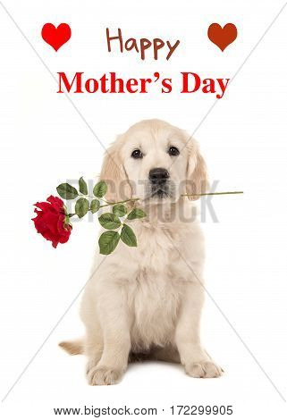 Cute sitting golden retriever puppy dog holding a red rose in his mouth facing the camera on a white background with text Happy Mother's Day as a wishing card