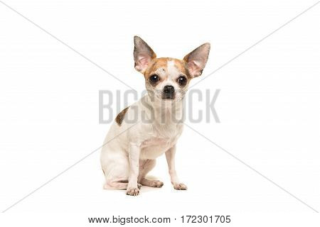 Sitting shorthair chihuahua dog sitting and facing the camera isolated on a white background