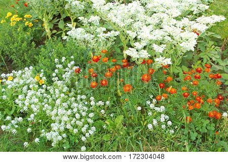 Tagetes In Flowerbed