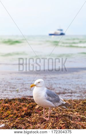 Seagull on heap of dry seaweed by the shore, small ship on sea at the horizon background