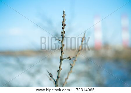 Buckthorn branch with buds on a background of the river. Walk in the early spring on the bank of the Vyatka River, Kirov, Russia.