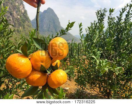 Chinese Small Cumquat Oranges In Hand