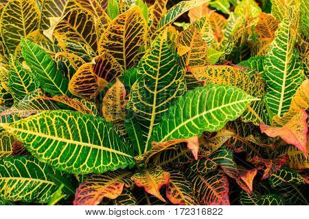 Colorful croton leaf. Beautiful tree can use on festival day, Christmas or Xmas, New year.