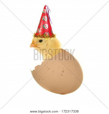 chick in egg on a white background