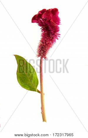 the flower isolated on a white background