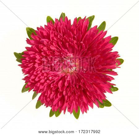 Aster flower red on a white background