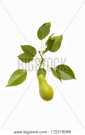 Quince yelow with green leaves on  white background