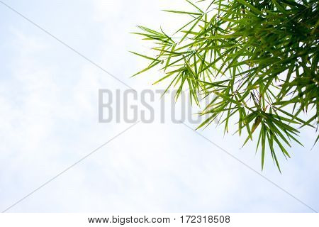 Bamboo Leaves Wiith Sky.