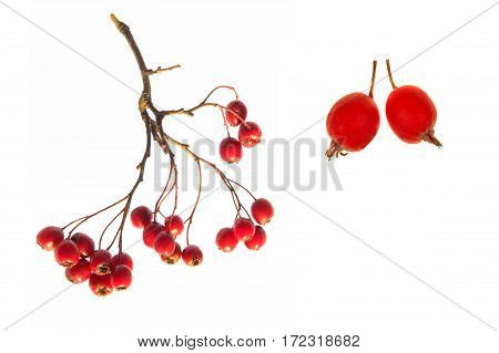 Red hawthorn isolated on a white background