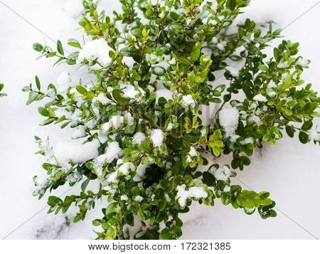 Winter composition. Green boxwood bush covered with snow in a garden.