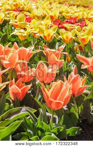 Colorful Blossom Tulips and narcissus for backgroundflower garden of Keukenhof