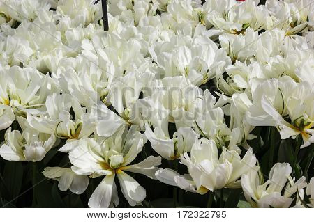 Flower bed with white tulips (Tulipa) in spring time