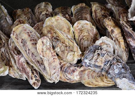 Group of Oysters ** note select focus with shallow depth of field