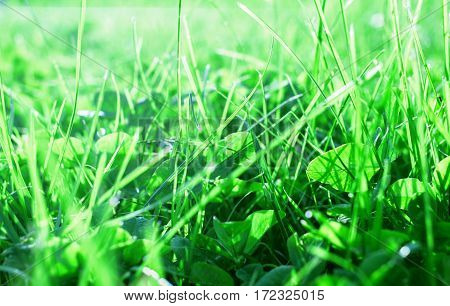 Green grass in sunny rays at beauty summer morning