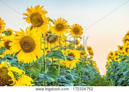 Agricultural background with rows of blooming sunflowers. Selective focus limited depth of field.