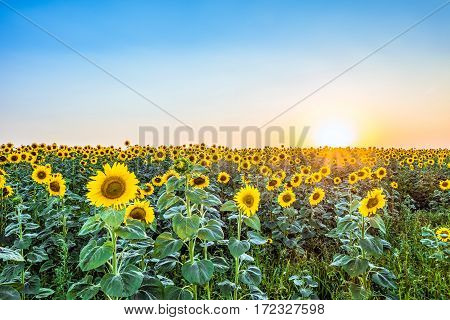 Evening a field of blooming sunflowers in the rays of the low sun backlight. Agricultural background with beautiful nature.