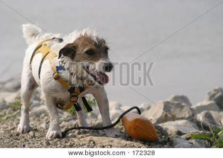 Fetching Jack Russell