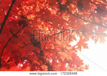 View of backlit maple leaves giving a glow abstract look.
