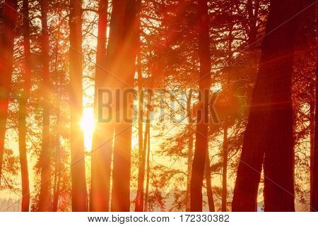 The orange setting sun shining through tree trunks in a forest