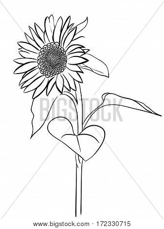 Sunflower sketch style hand drawn isolated on white background
