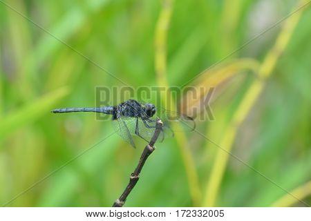 Dragonfly in the nature. Dragonfly in the nature habitat.