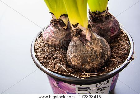 Close-up of Hyacinth Bulbs. Growing Hyacinth Flower Bulb in Pot.