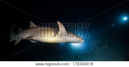 Bonnethead shark hunting at night, scuba divers with torches on background