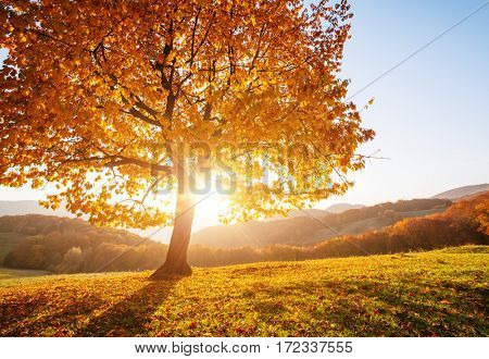Shiny beech tree on a hill slope with sunny beams at mountain valley. Gorgeous morning scene. Red and yellow autumn leaves. Location place Carpathians, Ukraine, Europe. Discover the world of beauty.