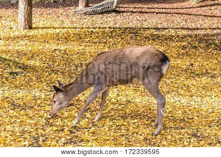 Close up of deer on yellow ginko leaves.