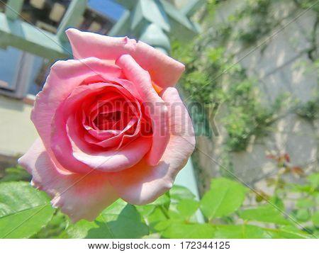 Colorful Pink Rose Wayside Between Sidewalk Travel