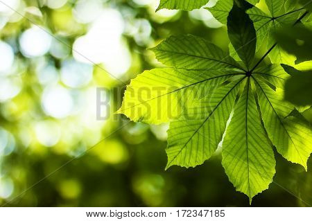 Fresh Green Chestnut Tree Leaf In Spring Park With Blurred Background