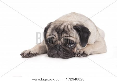 cute pug dog lying down on floor crying isolated on white background
