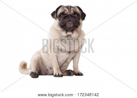cute pug dog puppy with goofy begging face sitting down on floor isolated on white background