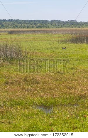 Southern Screamer In Lagoa Do Peixe Lake