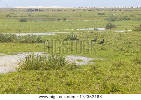 Southern Screamer in Lagoa do Peixe lake Mostardas city Rio Grande do Sul Brazil.