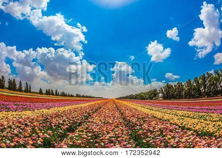 The scenic rural field. Spring in Israel. Magnificent multicolored flowering garden buttercups. The concept of modern agriculture and industrial floriculture