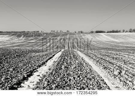 Rows of Seedlings on Hilly Filed at Early Spring Black and White