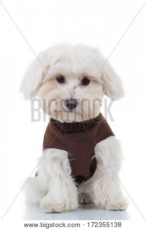 surprised bichon puppy sitting on white background