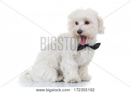 side view of a bichon puppy looking back on white background