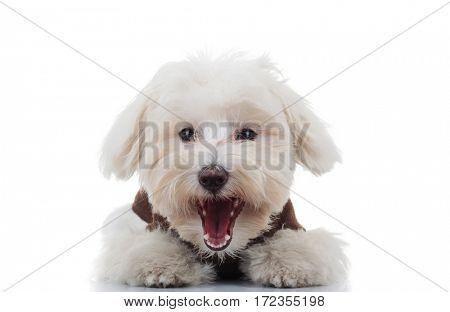 excited bichon puppy dog barking on white background