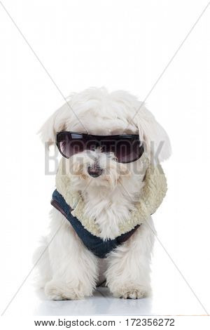 dressed bichon puppy dog wearing sunglasses isolated on white background