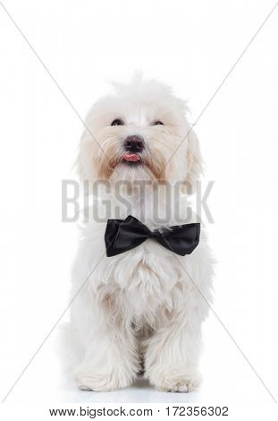 bichon puppy is sitting and sticking out tongue isolated on white background