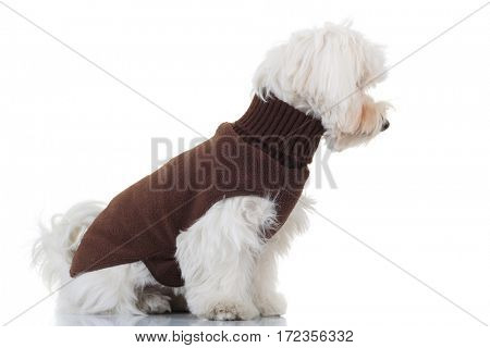 side view of a seated bichon puppy wearing brown clothes on white background