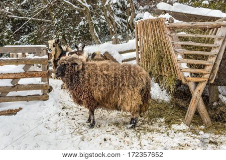 Mountain sheep ram near the feeders with hay in the snow in winter cloudy day (side view)